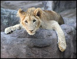 Juvenile Lion by mikewilson83