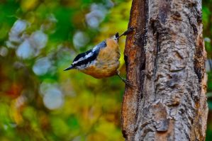 Nuthatch by hummingbird-guy