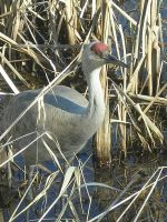 Sand Hill Crane 2 by otakuhobbit