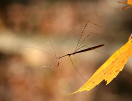 Thread-legged Bug 20D0019341 by Cristian-M