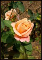 A Rose For My Mother by georgiarose