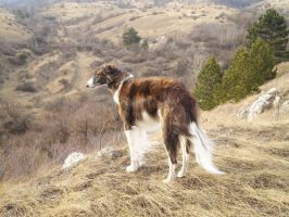 borzoi in the forest by tyyneys