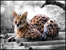 Relaxing Serval by mikewilson83