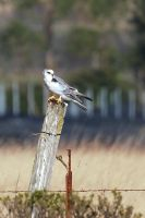 White Tailed Kite, Wavecrest, Half Moon Bay, CA by FeralWhippet