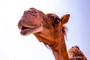 CAMEL by Saher4ever