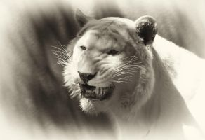 Grinning White Tiger by shutterbugmom