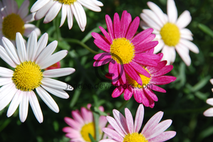 Daisies by Jandee
