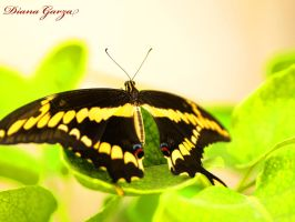 butterfly by shispis