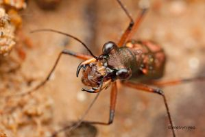 Hungry Tiger Beetle by melvynyeo