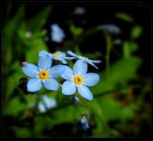 Forget-me-nots by JocelyneR