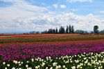 Tulips Fields Forever by Erin-Leigh