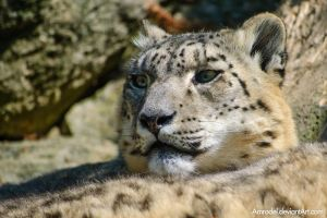 Snow Leopard Close-Up II by amrodel