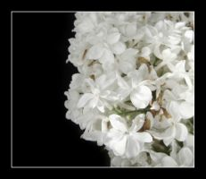 White Flowers by sofille