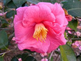 Old Camellia japonica 2 by TheLordTaxus