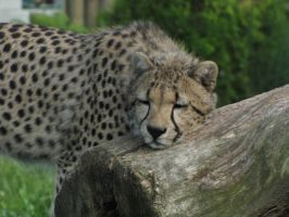 Cheetah 10 by animalphotos