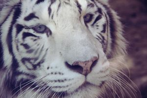 White Tiger 01 by AnnaGiladi