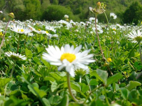 Daisies 3 by seraphina5042