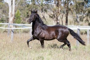 HH Andalusian Black trot side view by Chunga-Stock