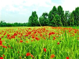 coquelicots by broto