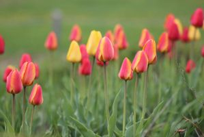 Tulips by JosephTimbury