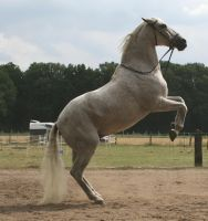 white andalusian sueni rearing by Nexu4