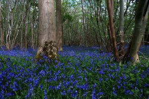 Bluebells2 by LughoftheLongArm
