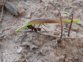 Leafcutter ant 2 by bslirabsl