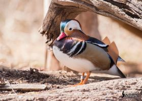 Mandarin Duck by EdgedFeather