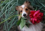 Sheltie and flower by Aannabelle
