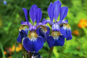 Blue Flag Iris by EarthHart
