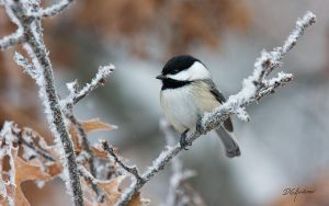 Chickadee frost II by DGAnder