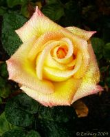 Frosted Yellow-Coral Rose 030 by Eolhin