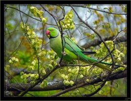 African Ring-necked Parakeet - 4 by J-Y-M