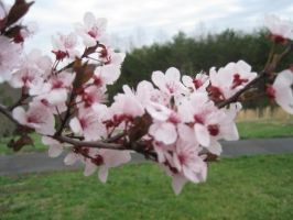 Pretty pink blossom. by Aikoloid
