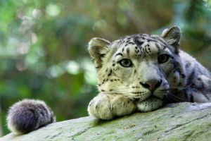 2959 - Snow Leopard by Jay-Co