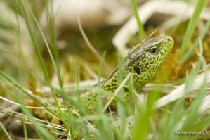 Lacerta agilis by LeoGg