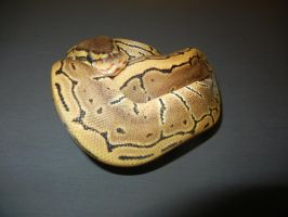 Ball Python 2 by FearBeforeValor