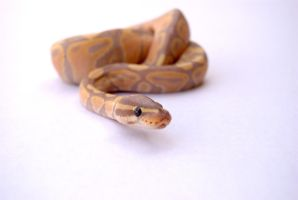 Banana Ball Python 3 by FearBeforeValor