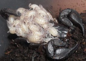 euscorpius italicus with offspring by ENRAGEDBAKU