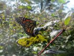 Monarch close up by aradia1015