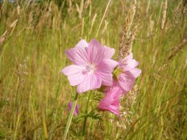 Malva moschata by Yashafreak2709