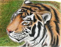 Tiger by Lapapolnoch