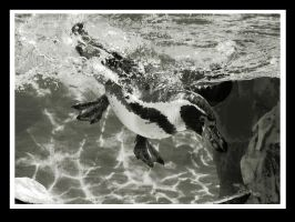 pinguin in bw by miezbiez