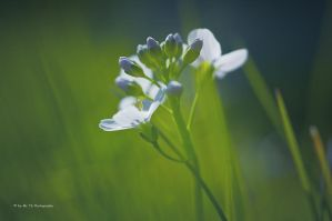 Spring [Wiesenschaumkraut] by Tb--Photography