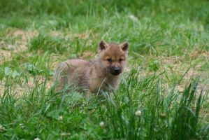 Artic wolf pup by Nashoba67