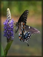 Tiger Swallowtail 40D0021603 by Cristian-M