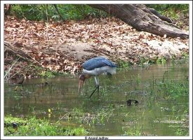 Bhandavgarh - Stork by Knightmare-at-9