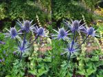 In Coombe Wood, Landlocked Surrey, Sea Holly! by aegiandyad