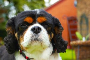 Cavalier King Charles Spaniel by JS92