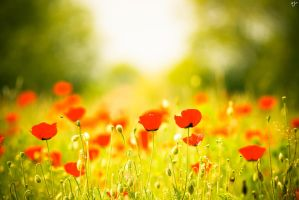 Poppies by majorLC